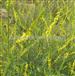 草木樨提取物